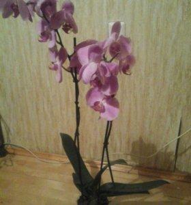 Орхидеи фалинопсис после цветения