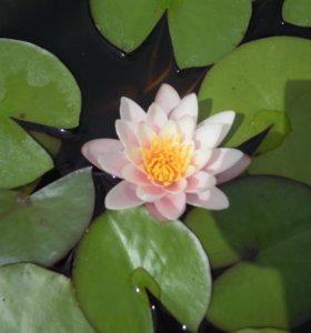 Водяная лилия (нимфея)
