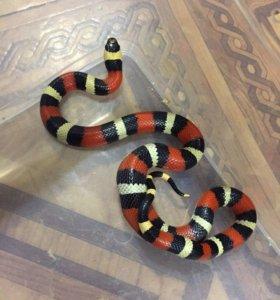 Молочка змея