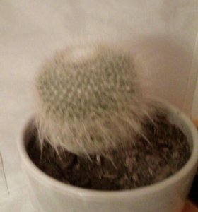 Продам кактус