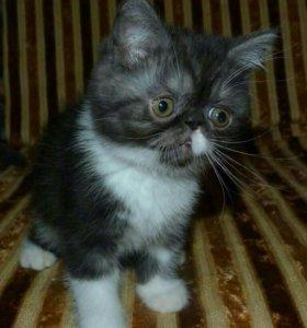 Котенок экзотический короткошерстный