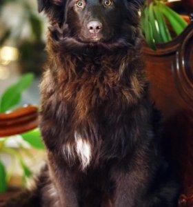 Красотка Петси - щенок в дар!