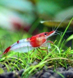Креветки рилли аквариумные