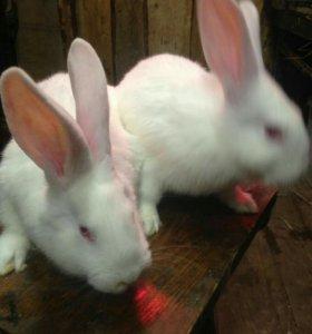 Кролики мясных пород