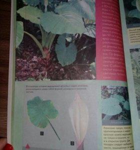 Алоказию домашнее цветочные растение.