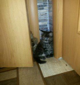 Кошечка 03.11.17крупная Мейн кун Алиментый котенок