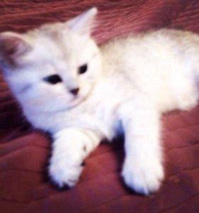 Котята от шиншиллы