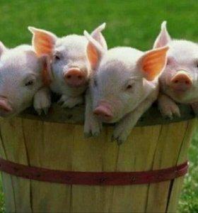 Поросята крупной белой свиньи