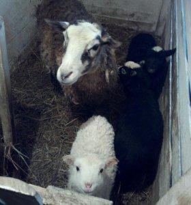 Продам овцематок с ягнятами
