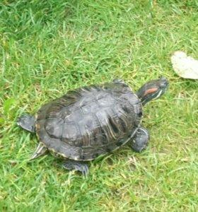 Черепаха Маша