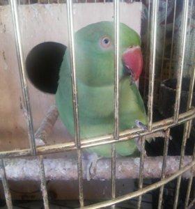 пара ожереловых попугаев с клеткой