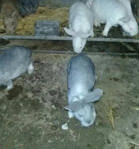 Кролики 3.5мес