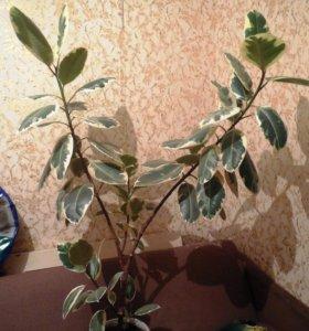 цветок комнатный фикус крупнолистный двухцветный