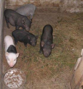 Продаю свинью на мясо; продаю вьетнамских поросят
