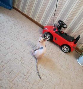 Ищу кота канадика для вязки, находимся в Коченево