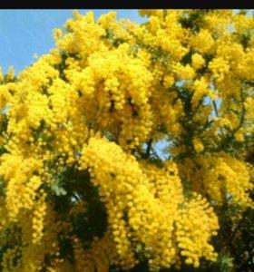 Мимозы цветы