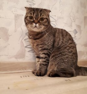 Кошка шотландская вислоухая.