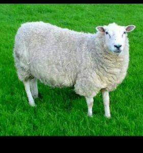 Овцы не дорого срочно