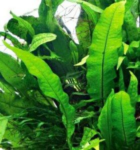 Папоротник тайландский ( Аквариумное растение )