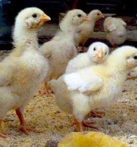 Цыплята бройлера домашние