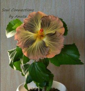 Гибискус Soul Connections