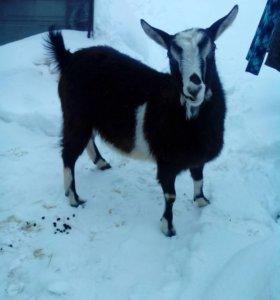 Продам коз.