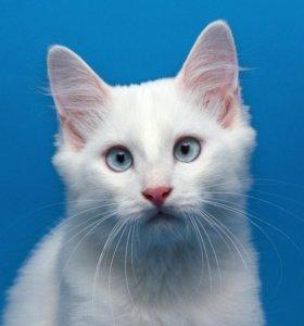 Ангорский котенок 9 месяцев, ласковый игрун