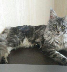 Ищем котика (мейн-кун)