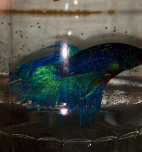 Синий петушок