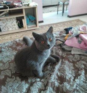 Вязка с котом Британцом