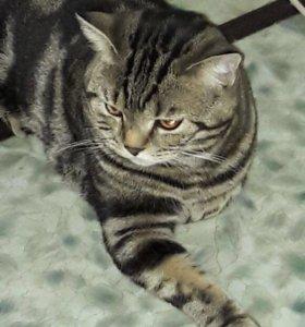 Продам шотландского кота