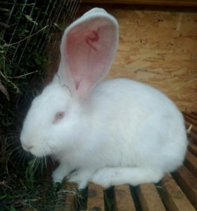 Кролики Ризен.2мес.