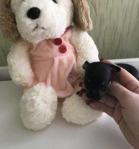 Продам щенков Той терьера