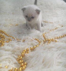 Шотландские котята)