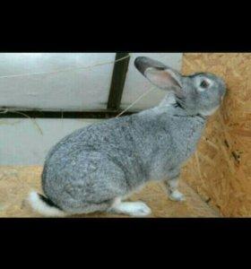 Крольчиха шиншилла