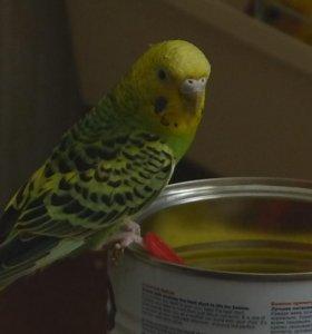 Волнистые попугаи (есть самец и 2 самки)