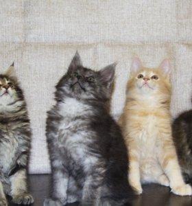 Предлагаются котята мейн-кун