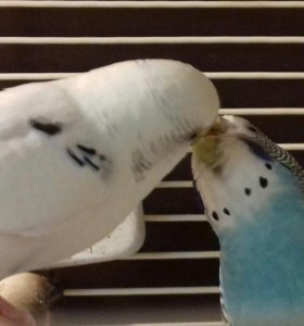 птенци попугая волнистики, кореллы