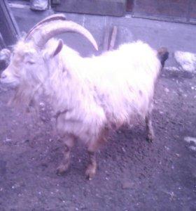 Вязка коз