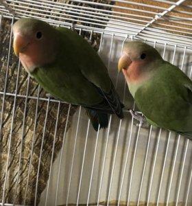 Попугаи-неразлучники розовощекие