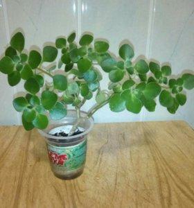 Аихризон(дерево любви)