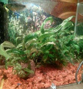 Аквариумное растения!