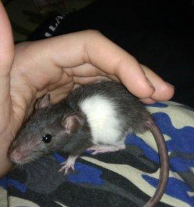 Крысята породистые