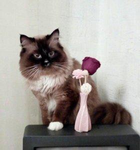 Вязка с невским маскарадным котом
