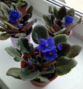 Комнатное домашнее растение