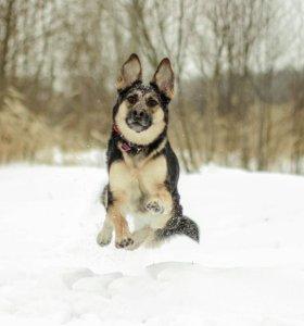 Собака Марта в добрые руки, метис овчарки