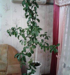 Деревце мандарина