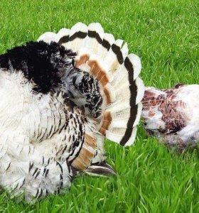 Индюк и индейка породы Бронзовые Широкогрудые