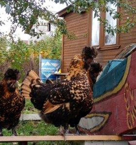 Цыплята Павловские золотистые