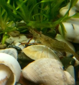 Креветки аквариумные макробрахиум